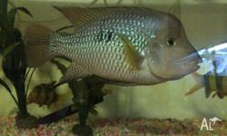 30cm pearl horseface cichlid. Beautiful fish 3 years