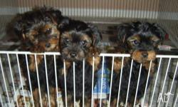 �	3 Adorable AKC registered Yorkshire Terrier puppies