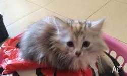 3 beautiful female kittens for sale 2 Grey fluffy