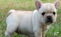 French Bulldog puppies available. Champion bloodlines.