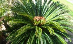 3 fully grown cycads male and female flower regularly