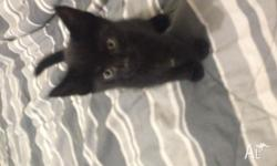 Hey guys I'm selling my kittens beautiful all black two