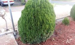 I have 3 large conifers for sale. The price is $60