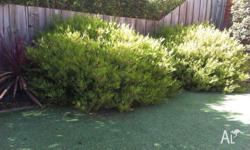 3 large evergreen shrubs with little star-shaped white