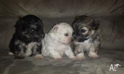 2 male Maltese Shitzu puppies only 4 weeks old atm,