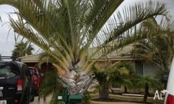 I am selling my triangle palms there 3 to 4 metres and