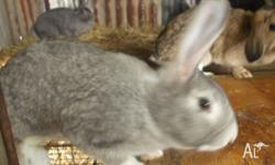 WE HAVE 3 FEMALE NEWZEALAND X RABBITS FOR SALE. ONE