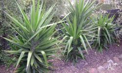 I have 3 yukka plants for sale - 1 is 6 ft high,