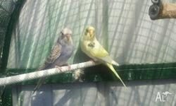 Hi I have 4 baby budgies for sale already eating and
