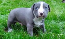 Blue Staffy For Sale : Blue american staffy classifieds buy sell blue american staffy