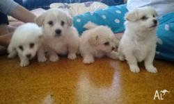 4 beautiful, kind natured little boy maltese x shitzu