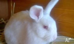 Cute 4 month old REW buck. His dads a Dwarf Lop, his