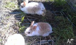 4 x Female Minilop X Cashmere Bunnies. 8 weeks old and