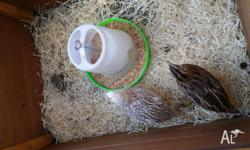 For sale 4 x lovely quails We get 2 eggs a day from