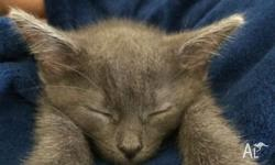 Claudia is up for sale $150. Ono Grey domestic cat,