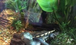 4 x 3 month old baby short neck turtles for sale. All
