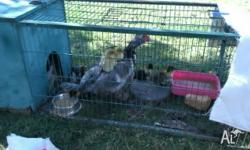 I have 10 Muscovy ducklings for sale. $5 each. Will be