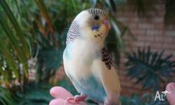 5 tame baby budgies only 8 weeks old. 1 yellow/blue