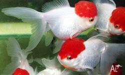 Healthy RED CAP fish are available for sale. Fish are