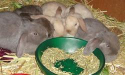 Six Adorable Baby Mini-Lop Bunnies - 8 weeks old I have