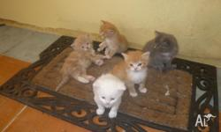 We have 6 kittens available. 3 Ginger 2 grey and 1