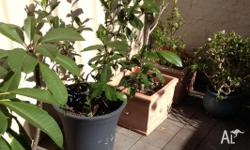 Larged potted plants for sale: 1 x frangipani 1 x olive