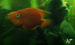 i have 6,1 year old quality red parrot fish for sale,