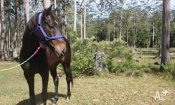 Sunni is a beautiful 16.1h thoroughbred gelding with