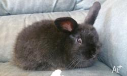 I have a beautiful black female lop ear rabbit for