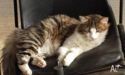Pretty loving caring female kitten 8 months old needs a