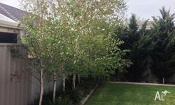 8 SILVER BIRCH TREES RANGING FROM APPOXIMATELY 3M -