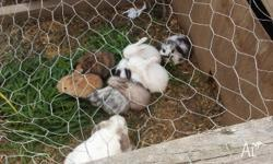 Hi all I have 9 beautiful pure mini lops for sale