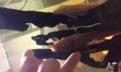 I have 2 pairs of Abino Bristhenose catfish for Sale,