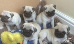 Delightful little pug puppies with great personalities