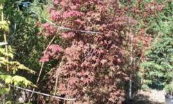 Acer Palmatum Red Japanese Maple Grafted small tree