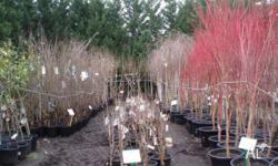Acer Palmatum Sang Kaku Coral Bark Maple available