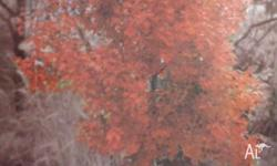 Acer Rubrum Autumn Red from the Canadian red maple