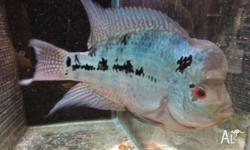 Gorgeous flowerhorn with a potential for a big kok. Has