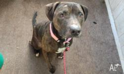 Name: MIKA Age: 18 months Breed: Female Staffy Mix
