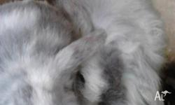 Adorable Cashmere x lop eared small baby bunnies. Male