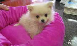 we have two  Pomeranian puppies they are 12 weeks old