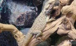 We have 2 x adult central bearded dragons for sale for
