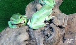 We have adult green tree frogs for sale $59 each or 2