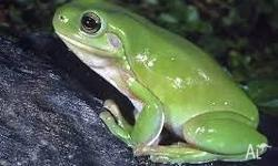 We have adult green tree frogs for sale $89.95 each.