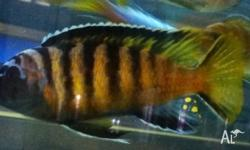 For sale range of African cichlids Electric yellows