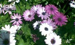 African Dasies are on sale now until stocks last.