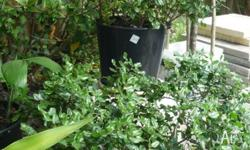 Mature, healthy plants, slow growing 80cm tall, appx