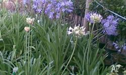 Agapanthus blue white dwarf and large varieties