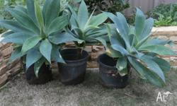 Agave Plants Size - 1 only approx 30cm high x 30cm wide