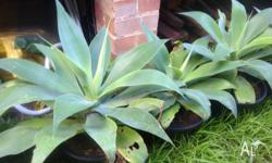 Agave plants for sale - $10 per pot and 8 pots in